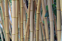 upplösning för jpg för bambudunge hög Fotografering för Bildbyråer