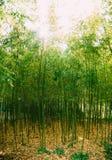 upplösning för jpg för bambudunge hög Parkera arboretumen Trsteno Arkivfoto