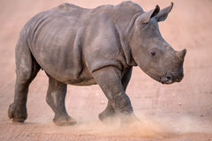 Uppladdning behandla som ett barn den vita noshörningen Arkivbilder