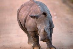 Uppladdning behandla som ett barn den vita noshörningen Arkivfoto