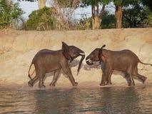 Uppladdning för två elefanter Royaltyfria Foton