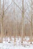 Upplaga för vinter för naturlig bakgrund för poppelträdstammar royaltyfri bild