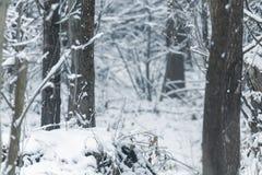 Upplaga för vinter för naturlig bakgrund för poppelträdstammar royaltyfria bilder