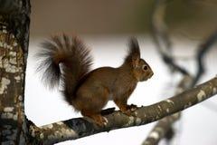 红松鼠(寻常的中型松鼠)在橡木 免版税库存图片