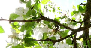 Upplyst för blomma för Apple träd ljust vitt av en ljusa Ray Of The Spring Sun 4k stock video