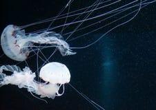 Upplyst manet i havet Arkivbild