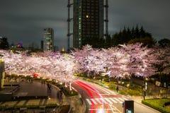 Upplysta körsbärsröda träd längs gatan på den Tokyo midtownen, Minato-Ku, Tokyo, Japan i våren, 2017 Royaltyfria Bilder