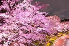 Upplysta körsbärsröda träd längs gatan på den Tokyo midtownen, Minato-Ku, Tokyo, Japan i våren, 2017 Royaltyfria Foton