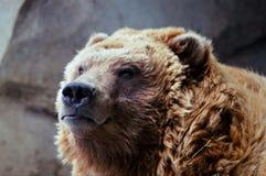 Uppmärksam alaskabo brunbjörn - Minnesota zoo Arkivbilder