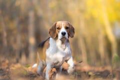 uppmärksam beaglehund Royaltyfri Fotografi
