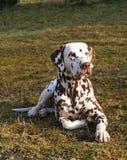 uppmärksam dalmatian liggande manlig Arkivbilder