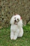 uppmärksam fransk poodle Arkivfoto