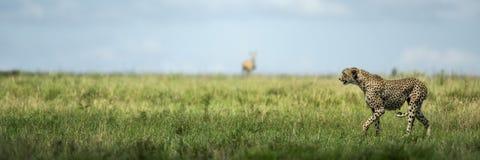 Uppmärksam gepard, Serengeti, Tanzania royaltyfri bild