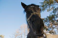 uppmärksam häst Royaltyfri Fotografi
