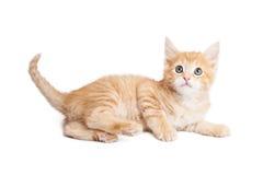 Uppmärksam kattunge som lägger på sida över vit royaltyfria bilder