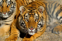 uppmärksam tiger Arkivfoton
