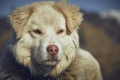 Uppmärksam vit fårhundstående Arkivfoto