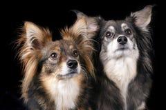 uppmärksama hundar Arkivfoto