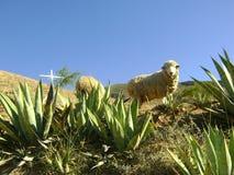 Uppmärksamheten av fåren arkivbilder