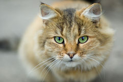 Uppmärksamma gröna ögon av den inhemska rovdjuret Royaltyfri Bild