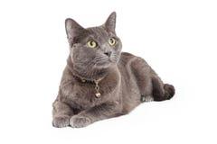 Uppmärksamma Grey Domestic Shorthair Cat Laying Arkivbild