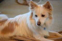 Uppmärksamma hundextraförmåner upp och att hålla ögonen på rummet arkivfoto