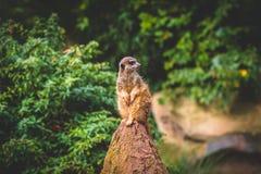 Uppmärksamma Meerkats Arkivfoton