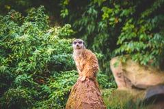 Uppmärksamma Meerkats Royaltyfri Fotografi