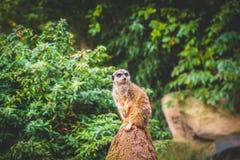 Uppmärksamma Meerkats Royaltyfria Foton