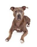 Uppmärksamt lägga för amerikanska Staffordshire Terrier hund Arkivfoton