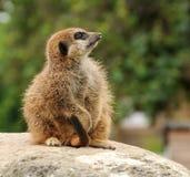 uppmärksamt meerkatbarn Royaltyfri Foto