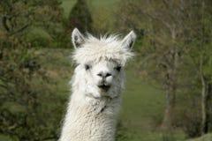 uppnosig alpaca Arkivbilder