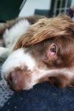 Uppnosig blickhund Arkivbilder