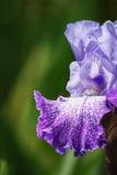 Uppnosig iris Fotografering för Bildbyråer