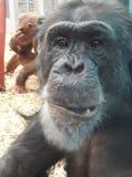 Uppnosig schimpans royaltyfria foton