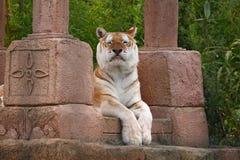 uppnosig tiger Arkivfoton