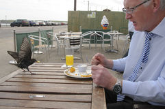 Uppnosiga Starling Berdeen Scotland Arkivfoton