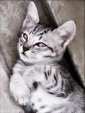 uppnosigt foto för katt royaltyfri foto