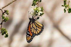 Uppochnervänd drottningfjäril och att mata på blomman Royaltyfri Foto