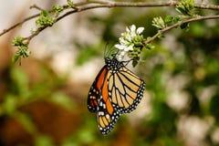 Uppochnervänd drottningfjäril och att mata på blomman Arkivbild
