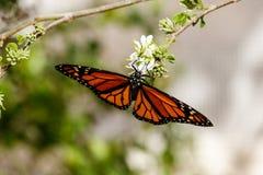 Uppochnervänd drottningfjäril och att mata på blomman Arkivfoto