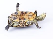 Uppochnervänd sköldpadda Royaltyfria Bilder