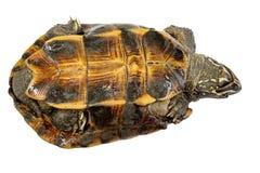 Uppochnervänd sköldpaddasköldpadda och att försöka att vända över Royaltyfri Fotografi