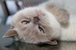 Uppochnervänd vit brittisk shorthairkatt på glass yttersida för tabell Royaltyfria Foton