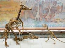 Upprätt dinosauries skelett i paleontologimuseum arkivfoto