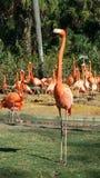 Upprätt flamingo Arkivbild