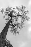 Upprätt högväxt sörjer trädet Royaltyfri Fotografi