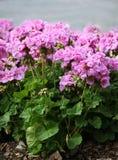 Upprätt pelargon med purpurfärgade blomningar Royaltyfria Foton