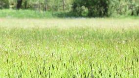 Upprätta skottet av det utomhus- naturliga gröna fältet som är rört vid vind i solig sommardag med fokuskuggen, ändra lager videofilmer