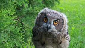 uppröra för owl för örneurasianhuvud arkivfilmer